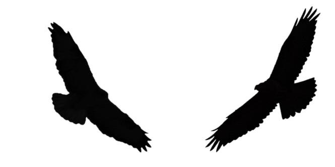 buzzard silhouette.jpg