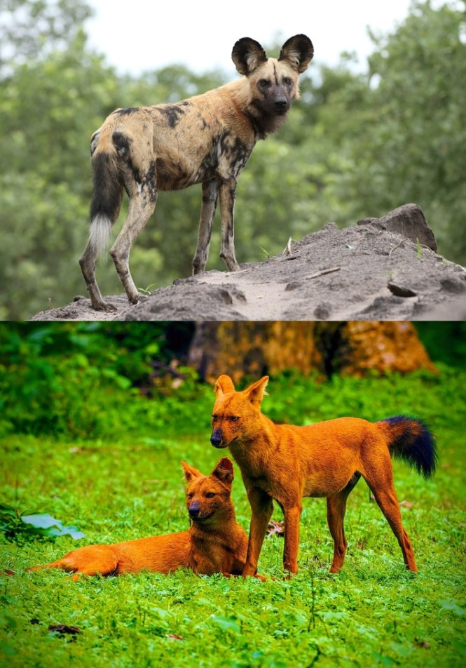 dog_and_dhole