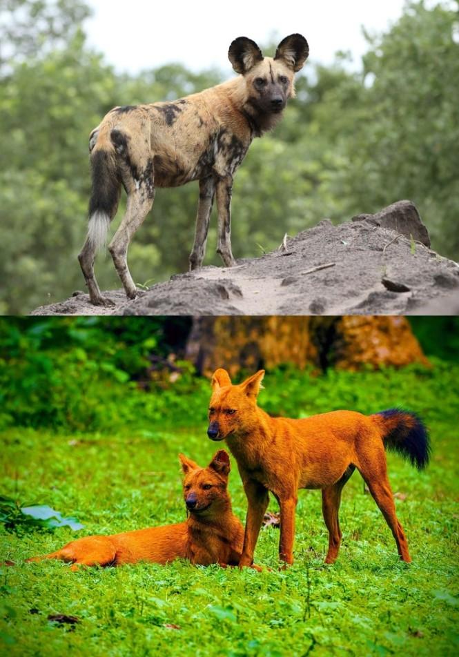 dog_and_dhole