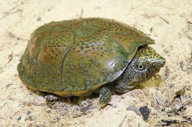 flattened-musk-turtle.jpg