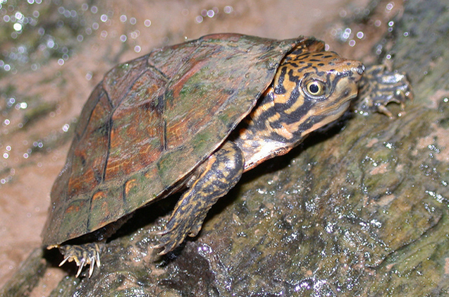 stripe-necked-musk-turtle.jpg