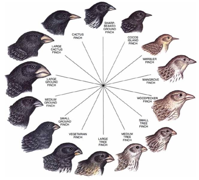 darwin's finches.jpg
