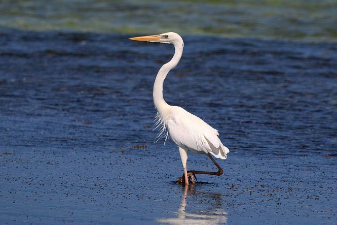 Great_blue_heron_(Ardea_herodias_occidentalis)_white_form