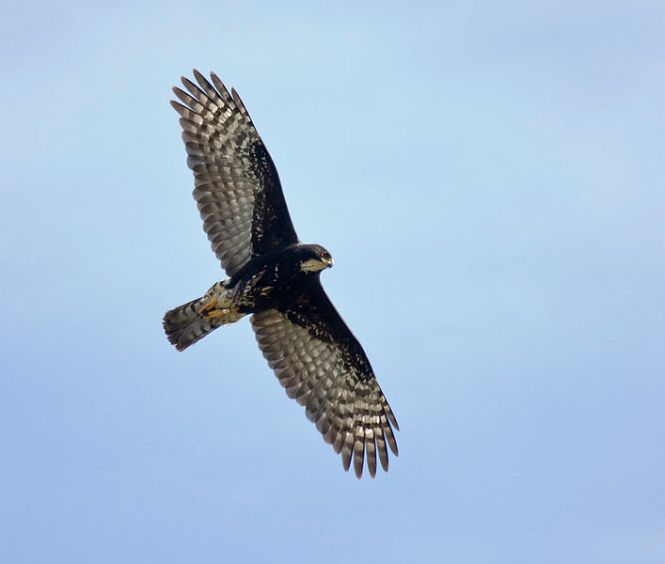 Black_Sparrowhawk_in_flight_x.jpg