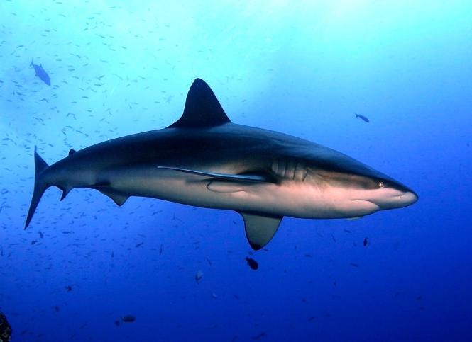 Carcharhinus_galapagensis_revillagigedo.jpg