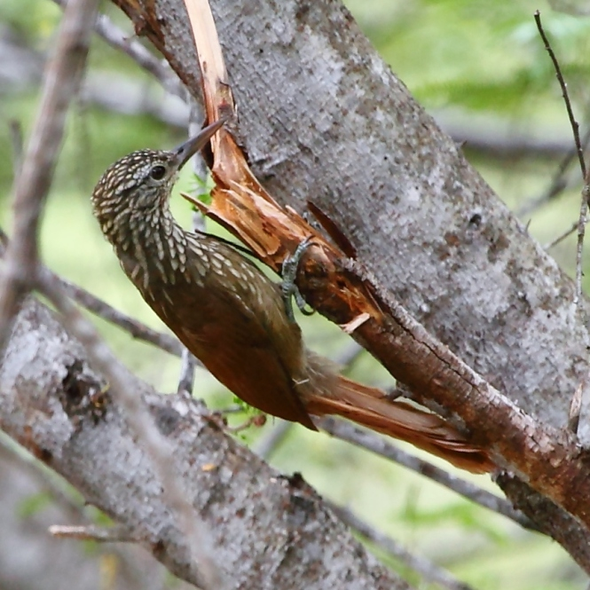 Dendroplex_picus_-_Straight-billed_Woodcreeper.JPG