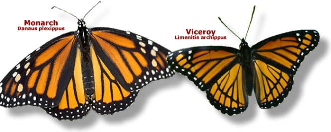 ID_Monarch_Viceroy.jpg
