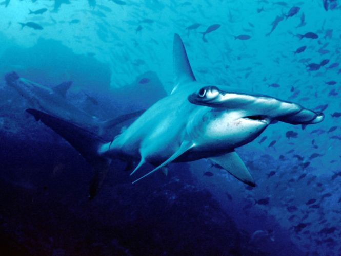 Scalloped_hammerhead_cocos.jpg