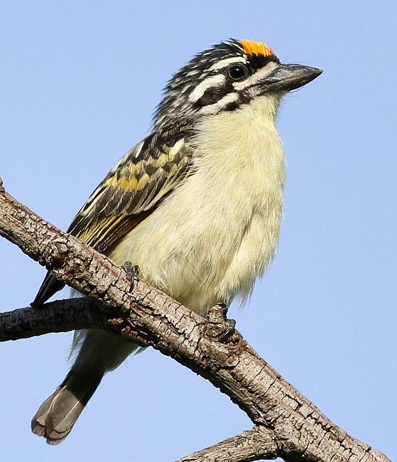 Yellow-fronted_tinkerbird.jpg