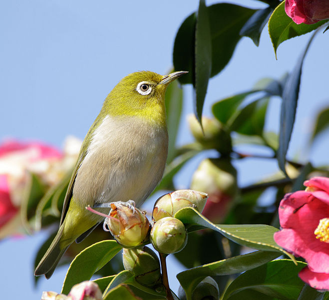 Japanese_white-eye.jpg