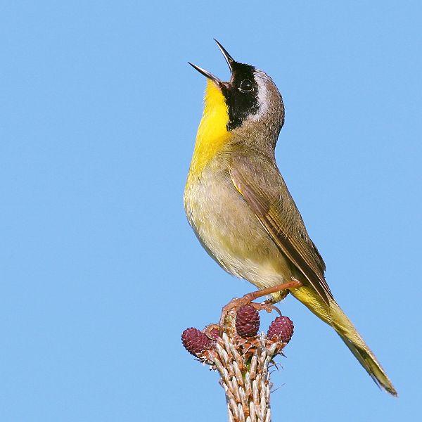 Common_yellowthroat.jpg