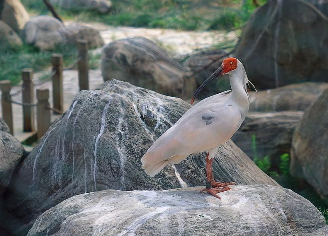Crested_Ibis.jpg