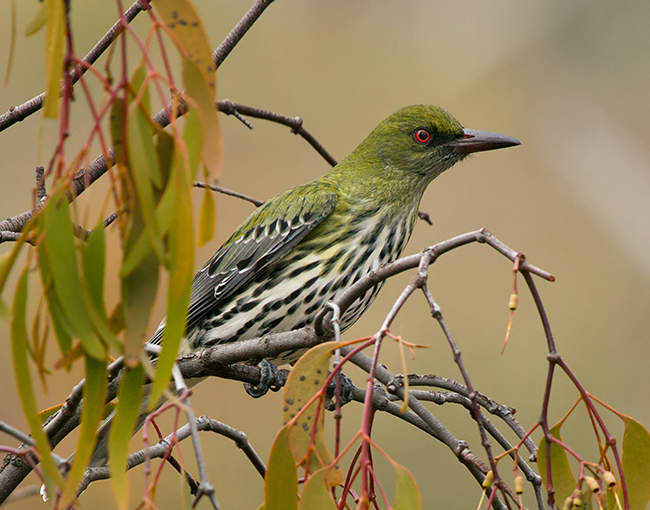 Olive-backed_Oriole.jpg