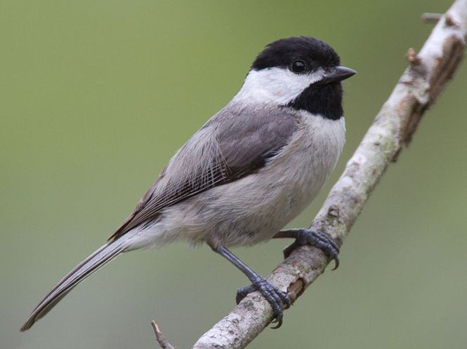 Carolina_Chickadee.jpg