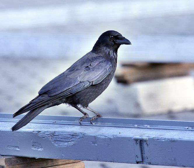 Carrion-Crow.jpg