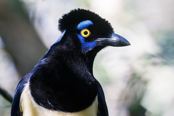 Plush-Crested_Jay.jpg