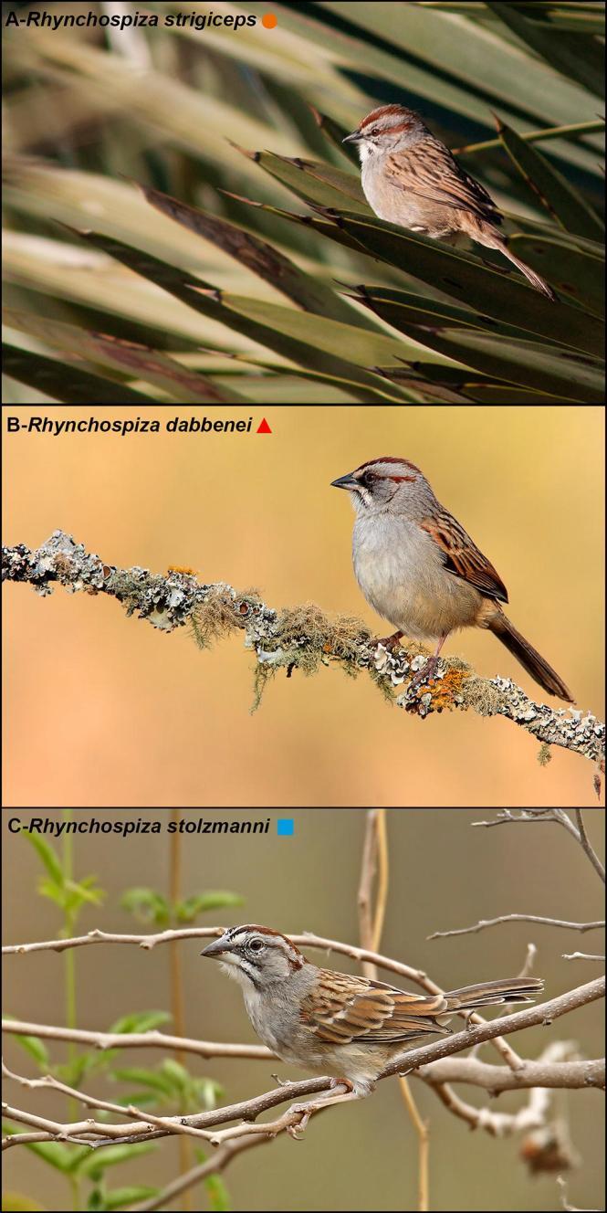 rhynchospiza