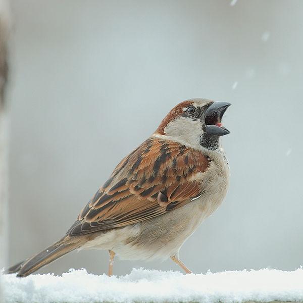 600px-Male_House_Sparrow_open_beak.jpg