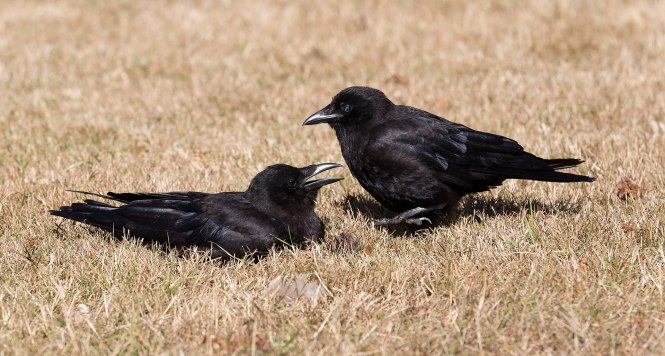 American_Crows