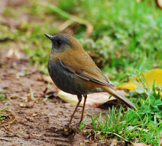 Black-billed_Nightingale-thrush.jpg