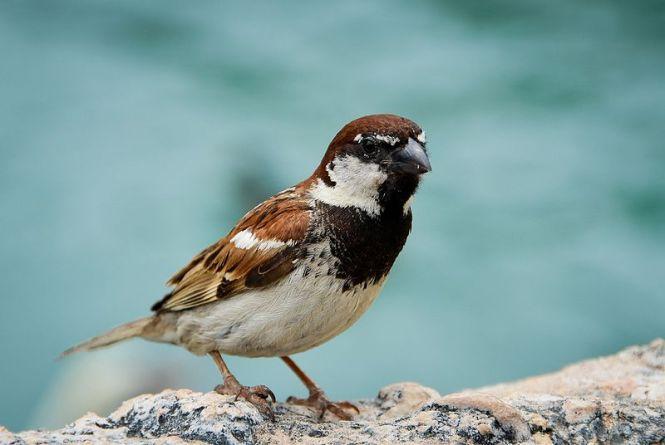 italian_sparrow.jpg