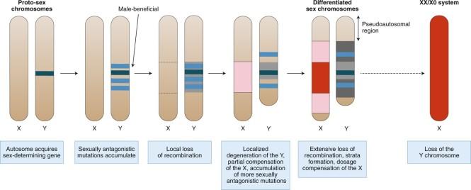 sex_chromosome_evolution