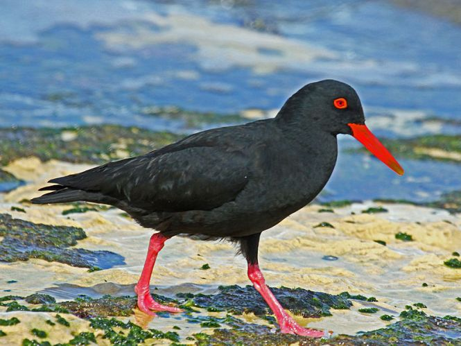 African_Black_Oystercatcher