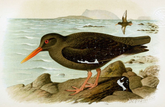 Canarian_Oystercatcher