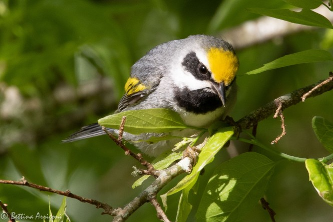 Golden-winged_Warbler