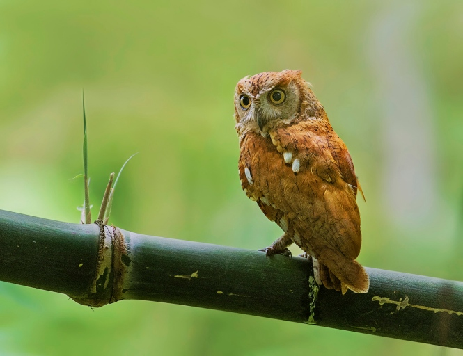 Oriental_Scops_Owl