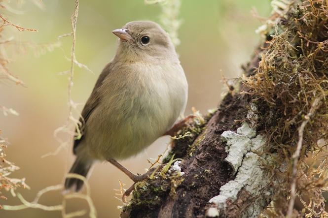 Green_Warbler_Finch