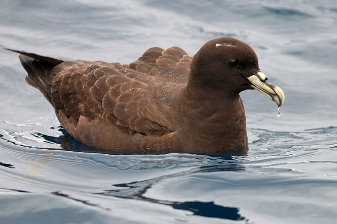 White-chinned_Petrel