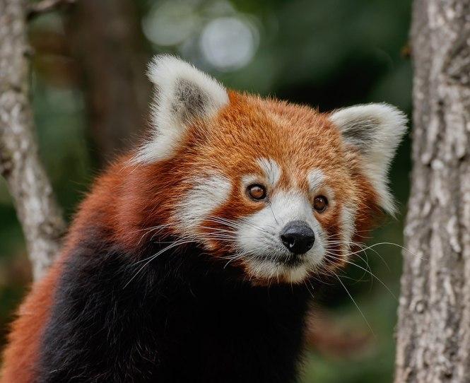 Ailurus_fulgens_-_Karlsruhe_Zoo_01