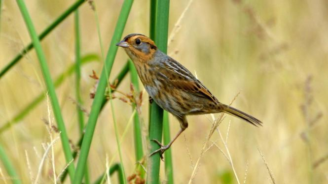 Nelson's_Sparrow