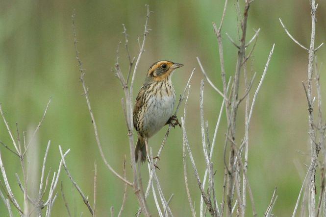 Saltmarsh_Sparrow