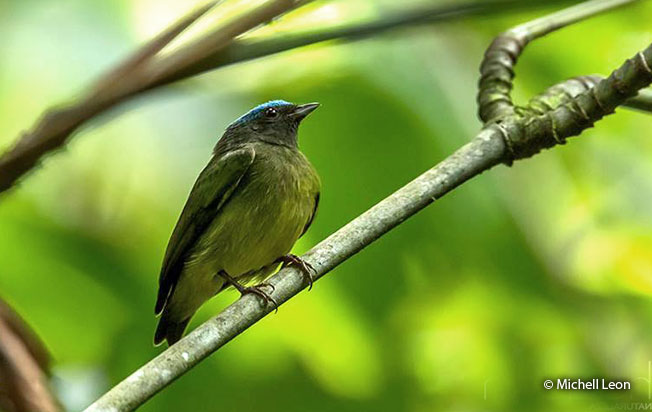 blue-crowned_manakin-2