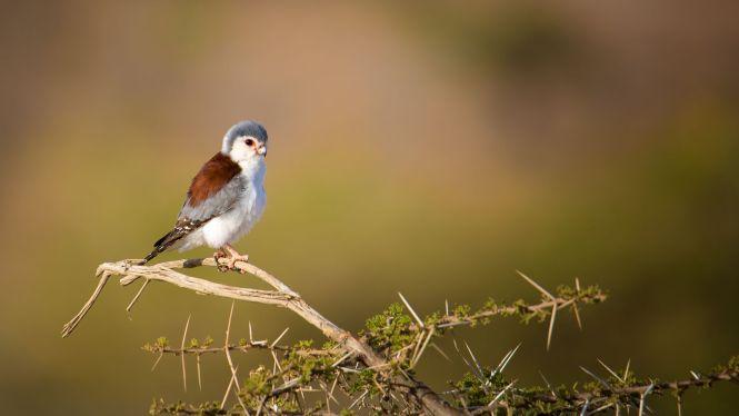 African_Pygmy_Falcon_Female