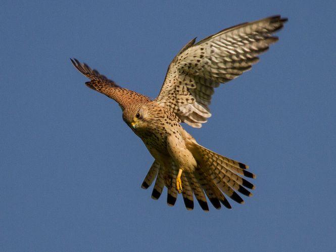 Common_kestrel_in_flight