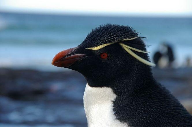 Falkland_Islands_Penguins_70
