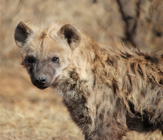spotted-hyena-3474798_960_720