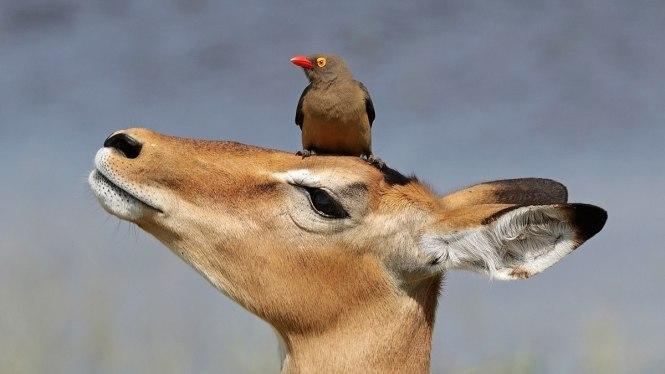 1200px-Red-billed_oxpecker_(Buphagus_erythrorhynchus)_on_impala_(Aepyceros_melampus)