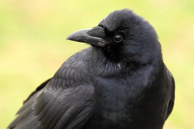 american_crow