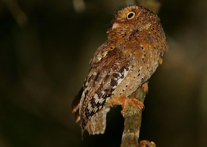 Sokoke_Scops_Owl