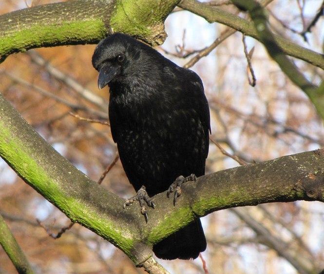 carrion_crow